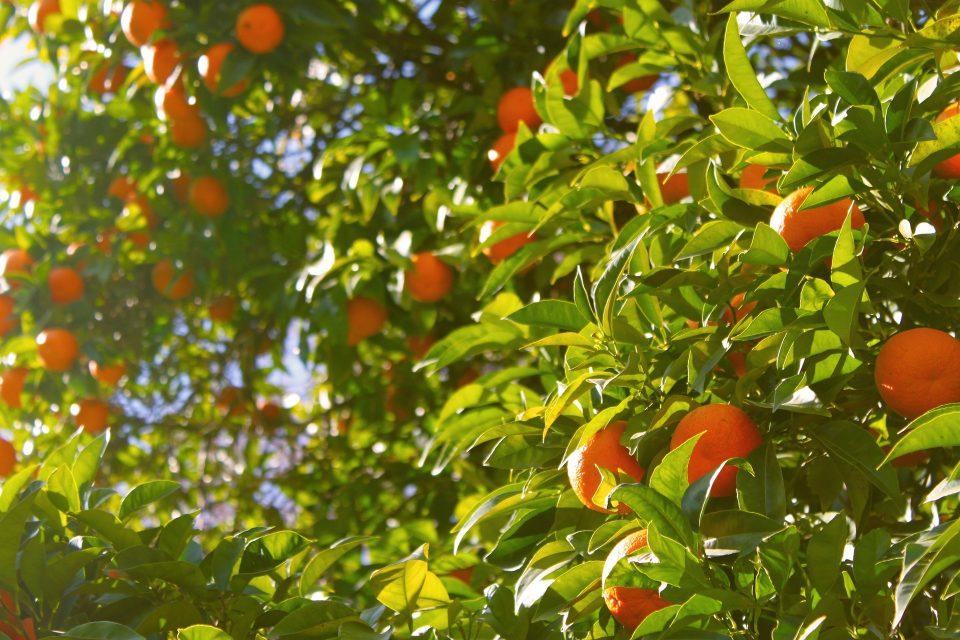 Sinaasappels, vitamine C en Sambucol voor je weerstand